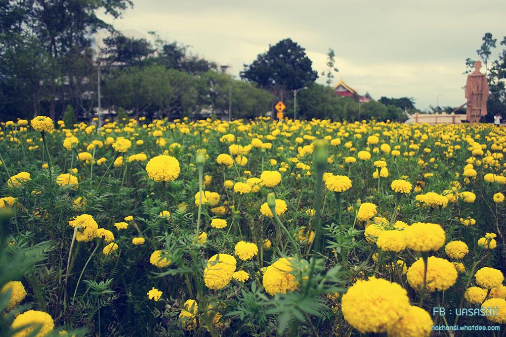 ทุ่งดอกดาวเรือง ณ มหาวิทยาลัยราชภัฏนครศรีธรรมราช และวิวสวยๆในมหาวิทยาลัย